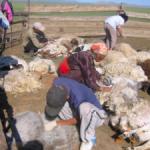 家畜の毛刈り