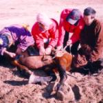 家畜の去勢