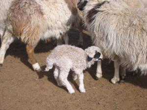 家畜の出産